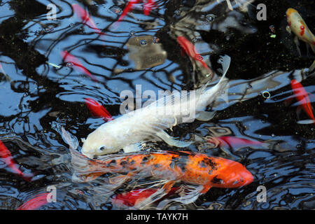 Large Koi fish swimming in a pond - Stock Photo