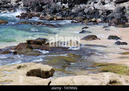 A camoflaged sea turtle resting on algae covered rocks at the shoreline of Ho'okipa Beach with two other turtles coming out of the Pacific Ocean in Ma - Stock Photo