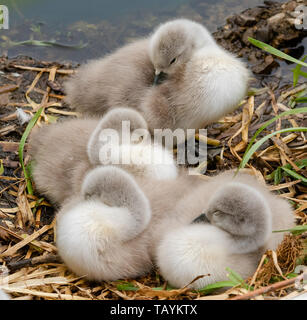 Mute swan cygnets asleep on a nest. - Stock Photo