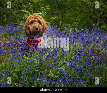 Red Cockapoo sitting amongst the bluebells in a wood - Stock Photo