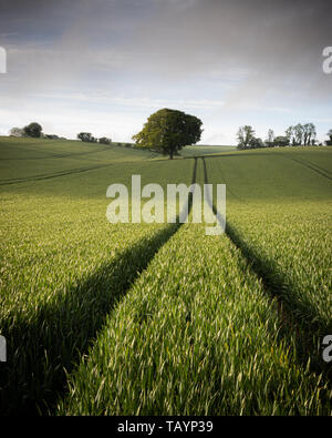 A lone tree in a green wheat field - Stock Photo