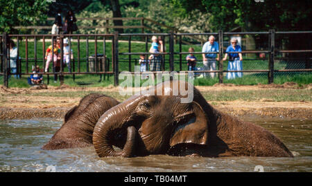 Asian Indian elephant, Elephas maximus, frolicking in a water bath - Stock Photo