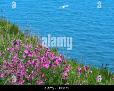 Red campion growing on the edge of a cliff at Bempton Cliffs, East Yorkshire, England, with blue sea and a gull in the background - Stock Photo