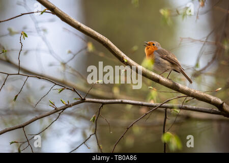 The European robin (Erithacus rubecula) known simply as the robin or robin redbreast - Stock Photo