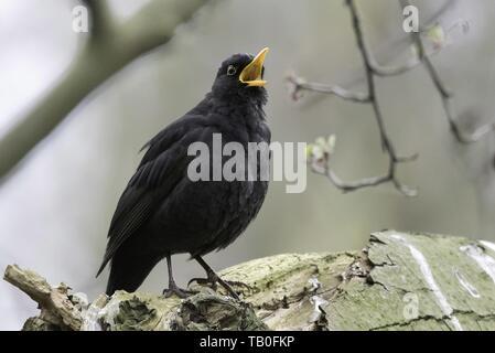 common blackbird - Stock Photo