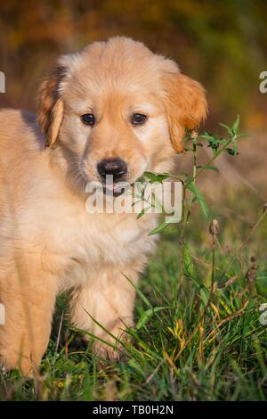 sitting Golden Retriever Puppy - Stock Photo