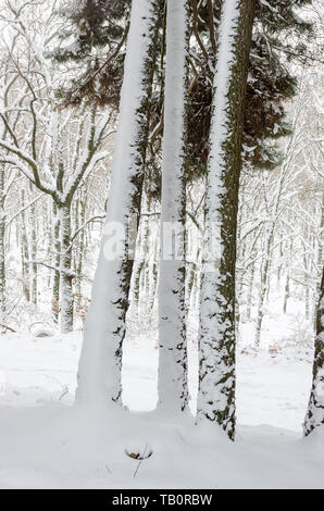 Three trunks of pine tree partially covered by snow in a winter day - Stock Photo