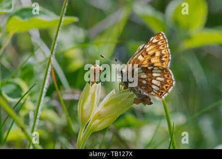 Duke of Burgundy Fritillary -Hamearis lucina butterfly feeds on Cowslip-Primula veris. - Stock Photo