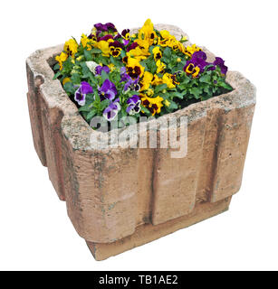Spring Pansies bloom in a street concrete flowerpot. Isolated on white with patch - Stock Photo