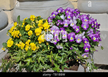 Spring  yellow and blue Pansies bloom in a street concrete flowerpot. Sunny April day outdoor shot - Stock Photo