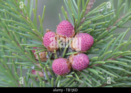 Fresh cones of Picea abies, the Norway spruce or European spruce - Stock Photo