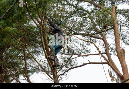 Castlehaven, West Cork, Ireland, 29th May 2019, Constant rain and drizzle did not stop these professional Lumberjacks moving around on the slippery branches and  dropping these trees from the top down. Credit aphperspective/ Alamy Live News - Stock Photo