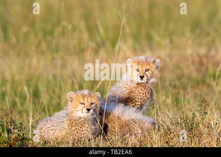 Cheetah cubs lying in the grass of the savannah - Stock Photo