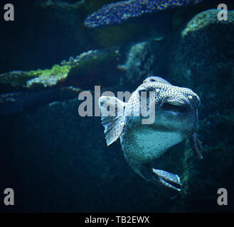 Blackspotted puffer fish swimming marine life in the ocean / Dog-faced puffer - Stock Photo