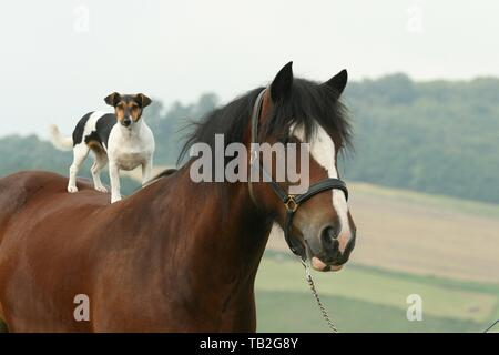 Jack Russell Terrier and horse - Stock Photo