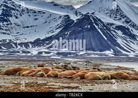 walruses - Stock Photo