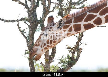 Reticulated giraffe (Giraffa camelopardis reticulata) browsing on acacia leaves - Stock Photo