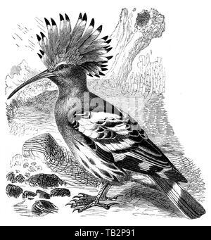 The Eurasian hoopoe (Upupa epops)