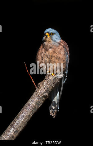 Lesser kestrel (Falco naumanni) male perched in tree against black background - Stock Photo
