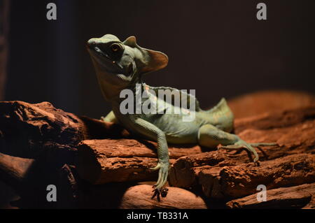 Green basilisk on wooden surface - Stock Photo