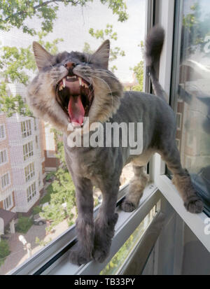 A striped Siberian cat trimmed or shaved for the summer is screaming or yawning while standing in a window with a protective net on the balcony - Stock Photo