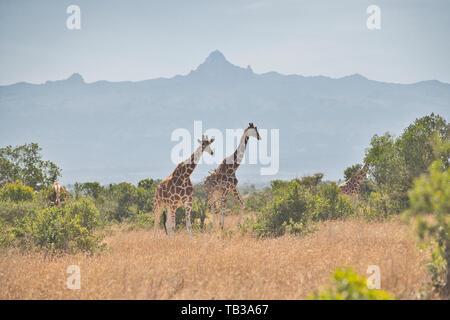 Reticulated giraffe (Giraffa camelopardis reticulata) with Mount Kenya in the background - Stock Photo