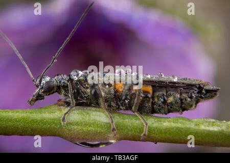Female oedemera flavipes posing on a green branch - Stock Photo