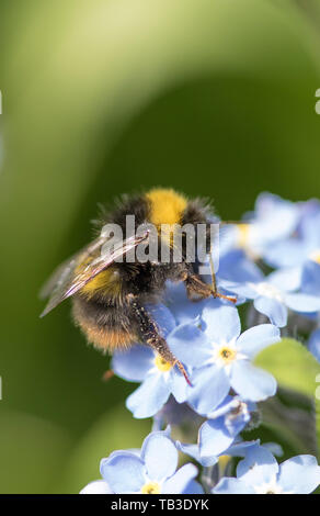 Bumble Bee on Forget-me-Not flowers, England, UK - Stock Photo