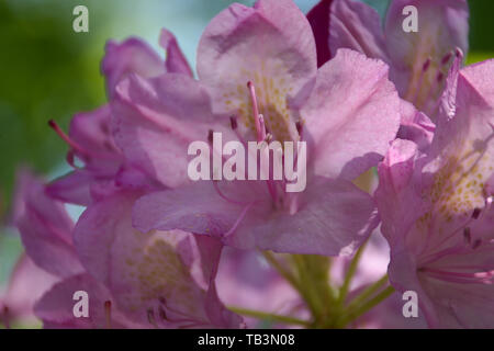 Closeup of Rhododendron Grandiflorum blossom - Stock Photo