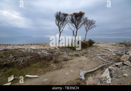 Scenic view of wild coastline in Maremma natural park, Tuscany, Italy, with its tree trunks on the shore,  during sunrise - Stock Photo