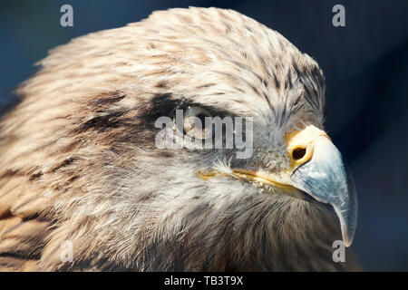 Marsh harrier Close up (Circus aeruginosus) - Stock Photo