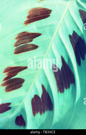 Tropical maranta leaves. Maranta leuconeura var. Kerchoveana - leaves closeup. Maranta leuconeura or prayer plant is native to the Brazilian Rainfores - Stock Photo