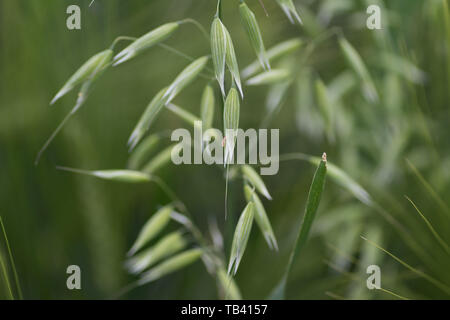 Young Green wheat in spring times, fields of Vojvodina region in Serbia - Stock Photo