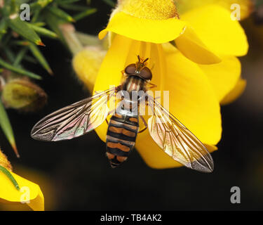 Episyrphus balteatus hoverfly female perched on gorse bush. Tipperary, Ireland - Stock Photo