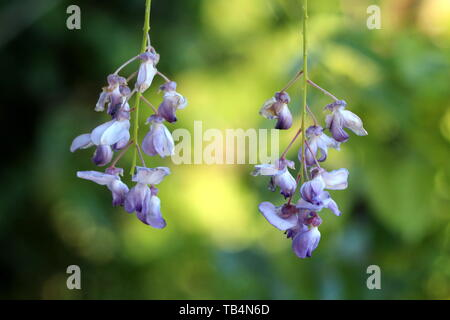 Two Wisteria flowering plant open pendulous racemes containing flowers with purple to violet petals on green leaves background in local garden - Stock Photo