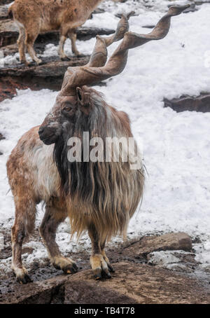 Markhor male (capra falconeri) with snow background - Stock Photo