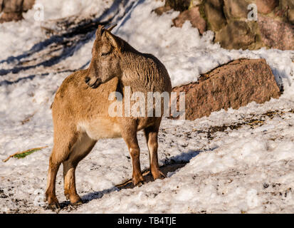 East Caucasian tur or Daghestan tur (Capra caucasica cylindricornis) female with rocks and snow background with sunlight - Stock Photo