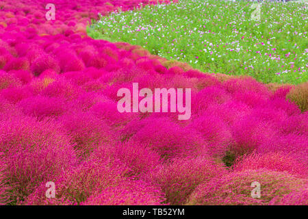 Kochia at Hitachi Seaside Park in autumn at Ibaraki, Japan. - Stock Photo