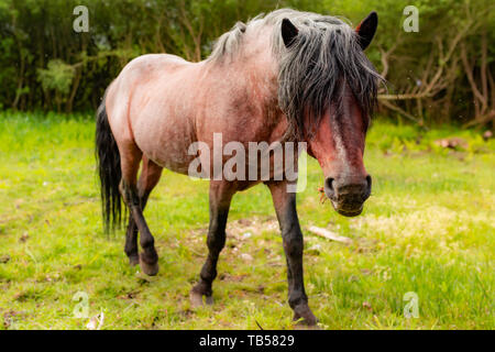 Animal portrait of old pony walking towards camera with eyes covered in long black hair - Stock Photo