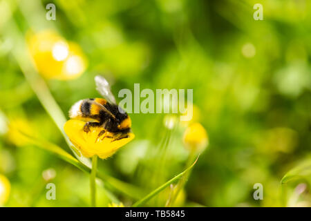 Creative focus macro photograph of Buff tailed bumblebee feeding on Buttercup flower side-on. - Stock Photo