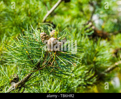 small pine cones growing on a conifer tree branch, evergreen forest background - Stock Photo