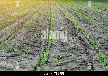 Young corn sprouts in a field in rows on a clean land. - Stock Photo