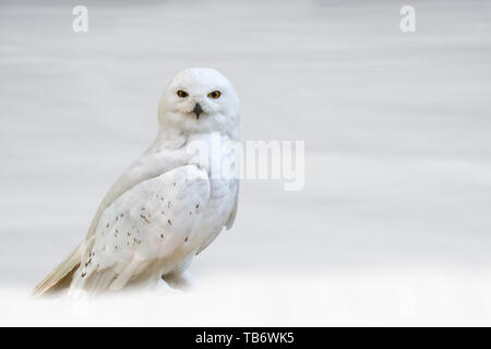 Snowy owl (Bubo scandiacus / Strix scandiaca) on the tundra in the snow in winter, native to Arctic regions in North America and Eurasia - Stock Photo