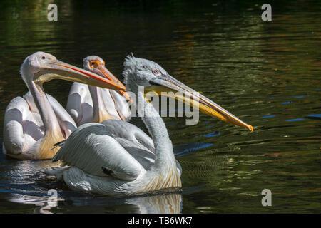 Dalmatian pelican (Pelecanus crispus) and two great white pelicans / rosy pelican (Pelecanus onocrotalus) swimming in pond in zoo - Stock Photo