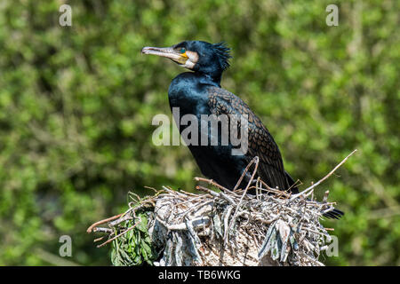 Great cormorant / great black cormorant (Phalacrocorax carbo) sitting on big nest made of branches in spring - Stock Photo