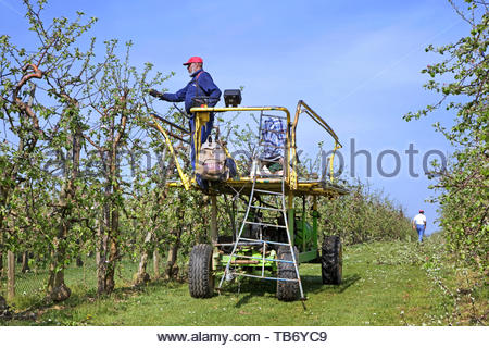 Migrant labourer / immigrant worker clipping fruit trees with electric pruning shear in apple orchard in spring - Stock Photo