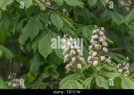 Flowering Horse Chestnut / Aesculus hippocastanum in Spring sunshine. - Stock Photo