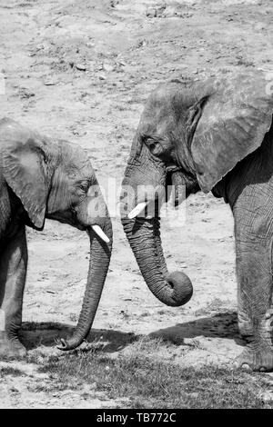 Black & white photograph of two African elephants (side view close up) mother and baby, head to head, facing each other together outside in sunshine. - Stock Photo