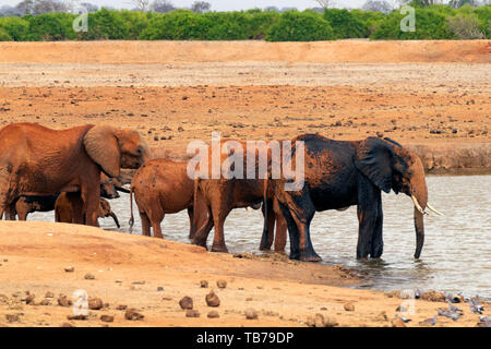 Group of many elephants takin a mud bath in the african Savannah. Scene taken in Tsavo East National Park, Kenya. - Stock Photo