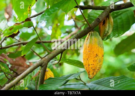 Trinitario cocoa (Theobroma cacao) pods on Sumatra, Indonesia